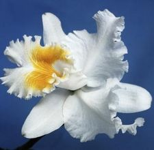 article-page-main-ehow-images-a08-39-3u-cattleyas-orchids-800x8001.jpg